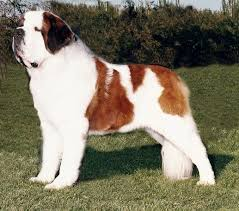 Do Short Haired Saint Bernards Shed by Long Hair Vs Short Haired St Bernard Short Hair Fashions
