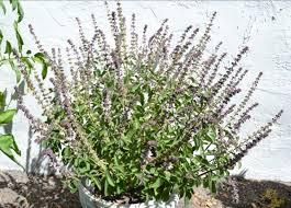 basilic vivace semis bouturage culture