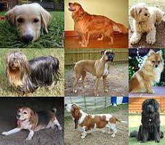 What Kind Of Dogs Shed The Most by Dog Wikipedia
