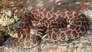 massasauga rattlesnake rattles and flicks tongue in canada this