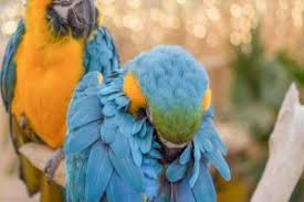 Parrot Caught Singing Bodies Hit The Floor by Pet Bird And Parrot Behavior Pet Birds By Lafeber Co