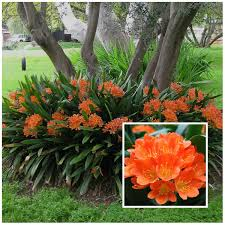 Fire Lily Clivia Miniata Is A Shade Loving Plant Pennies In The