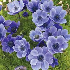 anemone coronaria mr fokker windflower or poppy anemone bulbs