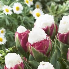 tulip flowering 10 flower bulbs buy