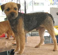 Do Border Terriers Shed by Border Terrier Breed And Photos And Videos List Of Dogs Breeds