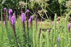 liatris spicata a great addition to your garden