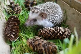 Porcupine Eats Pumpkin by Can Hedgies Eat Slugs Hedgehog Central U2013 Hedgehog Pet Care