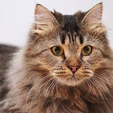 haired cat top 10 fluffy cat breeds care community