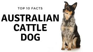 Non Shedding Small Dogs Australia by Australian Cattle Dog Top 10 Interesting Facts Youtube
