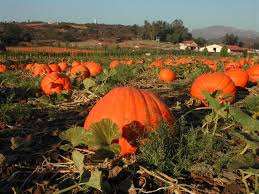 Mission Valley Pumpkin Patch by North County San Diego Neighborhood Guide Valley Center Ync