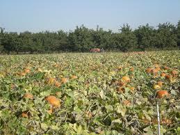 Pumpkin Patch Roseville Ca by Bishop U0027s Pumpkin Farm Wheatland Ca Top Tips Before You Go