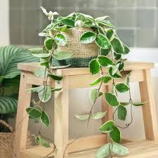 hängepflanzen die besten zimmerpflanzen zum aufhängen