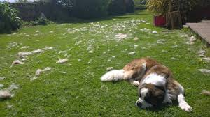 American Eskimo Shedding Problem by So We Tried Grooming Our St Bernard Aww