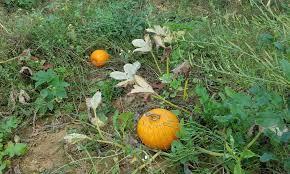 Shed North Andover Ma by Pumpkin Picking At Boston Hill Farm North Andover Ma