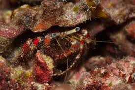 Do Hermit Crabs Shed Their Body by The Best Hermit Crabs For Your Reef Tank Petcha