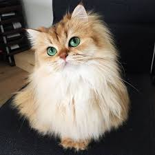 haired cat meet smoothie the world s most photogenic cat bored panda