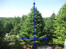 Balsam Christmas Tree Care by Live Christmas Tree Preparation Set Up And Care