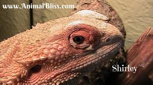 bearded dragon shedding process reptile shed what to expect
