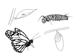 Butterfly Life Cycle Coloring Page Free Pages Stuwahacreations Pictures