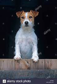Jack Russell Terrier In Farm Barn Stock Photo, Royalty Free Image ... Jack Russell Gracie Sold To Chris Dearmon Snow Creek 1813 Best Triers Images On Pinterest 743 Russell Long Haired Jack Trier Puppies For Sale In Kent Google The Russellcolbath Historic Homestead Site The White Mountains New Hampshire Kancamagus Highway Northern England Villages Cute Trier Dog On Stock Photo 574920391 Shutterstock Farm Photos Images Alamy Male Teacup Chihuajack Russellix Lantern Pictures Jackhua 1588