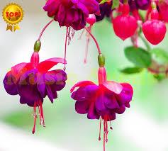 200pcs sale fuchsia seeds japanese bulb flower seeds