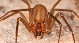 Two Cases Of Recluse Spider Bites In NC | | NC State Extension Spiders At Spiderzrule The Best Site In World About Spiders 5 Venomous Found Colorado Outthere 109 And Webs Images On Pinterest Nature Ohios Biting Spidersrule The Barn Spider Pets Cute Docile Bug Eric Sunday Western Spotted Orbweaver Araneus Gemmoides Wikipedia Poisonous Georgia
