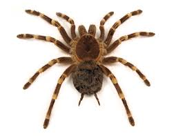 Do Tarantulas Shed Their Fangs by Australian Spider Identification And Spider Bite Treatment