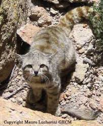 mountain cat featured feline andean mountain cat international society for
