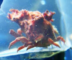 Decorator Crab Tank Mates by Decorator Crab F