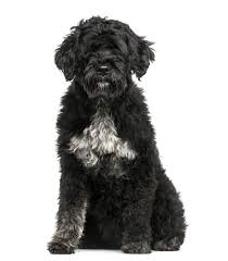 Portuguese Water Dog Non Shedding portuguese water dog dogs breed information omlet
