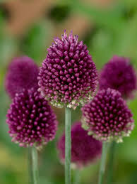 alliums harts nursery the bulb specialists