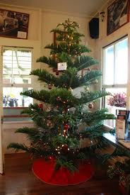 Longest Lasting Artificial Christmas Tree by Norfolk Island Pine For A Christmas Tree You Can Get Nice Big