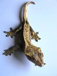 Crested Gecko Shedding Behavior by Crested Gecko Caresheet