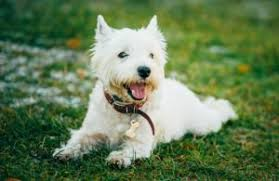 Small Dogs That Dont Shed by Do Westies Shed Westie Charm