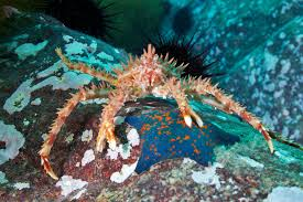 Do Hermit Crabs Shed Their Legs by Red King Crab Facts And Identification