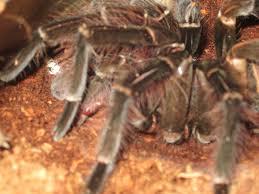 Do Tarantulas Molt Upside Down by Goliath Birdeater Bad Molt Help Arachnoboards
