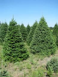 Nordmann Fir Christmas Trees Wholesale canaan balsam fir wholesale christmas trees