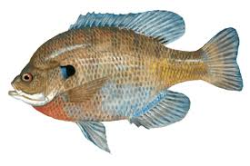 Tilapia Fish Clipart Collections