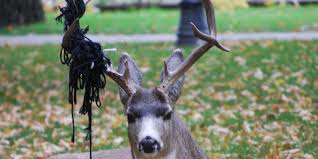 Shed Hunting Utah 2014 by Nevada Wildlife Officials Might Restrict Shed Antler Hunting