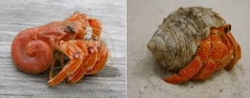 Do Hermit Crabs Shed Their Body by Beyond The Shell What Are Hermit Crabs Really After Oceanbites