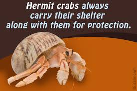 Do Hermit Crabs Shed by Things You Should Know About Taking Care Of Pet Hermit Crabs