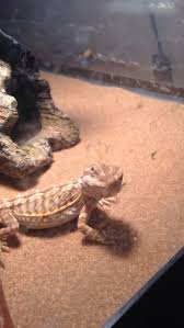Bearded Dragon Shedding A Lot by Bearded Dragon Lost Alot Of Weight During Shed U2022 Bearded Dragon Org