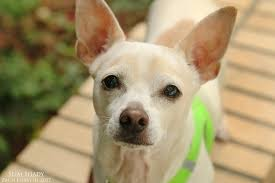 Miniature Dog Breeds That Dont Shed by The Pixie Project What Makes The Pixie Project Special Non