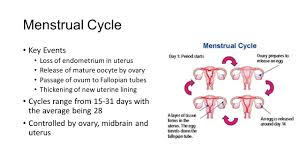 Shedding Of Uterine Lining by Chemical Regulation Of The Reproductive System Anatomy