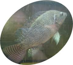 We Sell Blue Tilapia Mixed Sex Plan On Selling Male Only Hatched Soon So Stay Tuned My Fish Are All Natural Hormone Free Baby BlueTilapia