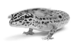 Do Leopard Geckos Shed by Leopard Gecko Information And Care Recommendations Medvet