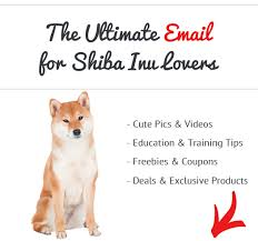 do shiba inus shed hair how bad do shiba inus shed advice from real shiba inu owners
