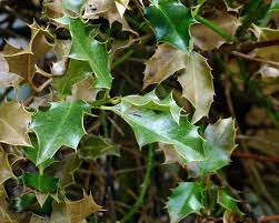 Holly Bush Winter Damage – Treating Hollies With Leaf Scorch Evergreen Winter Damage Learn About Treating And Preventing Cheat With Low Tunnels Fall Leaf Burn Youtube Fire Pit Safety Maintenance Guide For Your Backyard Installit Outdoor Burning Nonagricultural Bay Leaves In The House And See What Happens After 10 Minutes Tips For Removing Poison Ivy Bush Insect Pests How To Identify Treat Bugs That Eat To Guidelines Infographic Dont Holly Hollies With Scorch Glorious Autumn My Minnesota Backyard Prairie Roots April Month Powell River Today