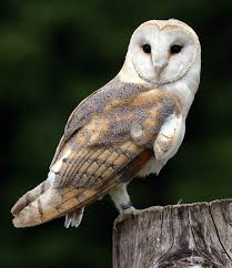Barn Owl By Stephen Robson On 500px | Feathered Friends ... 382 Best Barn Owls Images On Pinterest Barn Owl Photos And Beautiful My Sisters Favorite It Used To Be Mine Pin By Hans De Graaf Uilen Bird Animal Totem Native American Zodiac Signs Birth Symbolism Meaning Dreams Spirit 1861 Snowy Saw Whets 741 Owls Birds 149 Animals 2 Snowy Owl Necklace Ceramic Pendant The Goddess Touch Animism Youtube Pole Trollgirl Deviantart