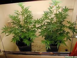 gg7 s indoor outdoor grows